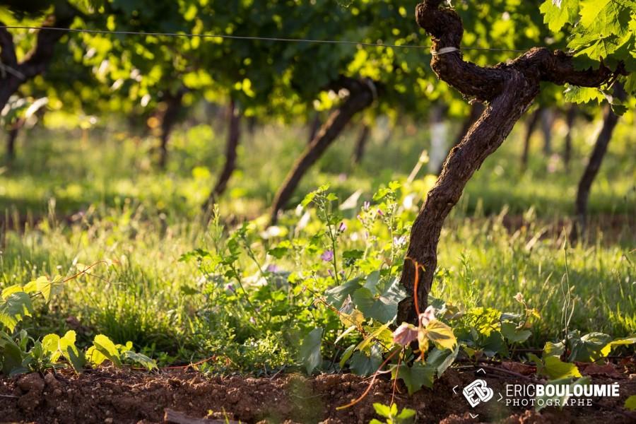 Vue sur la vigne du château de Bonhoste